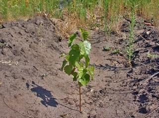 В микрорайоне «Амурский-2» посадили березовую рощу