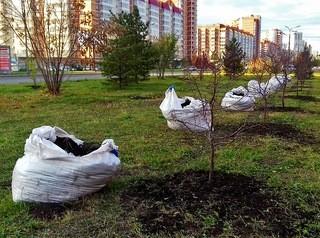 Низкое качество компенсационных посадок в Красноярске объяснили устаревшими нормами