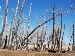 Красноярск защитят от варварской вырубки деревьев